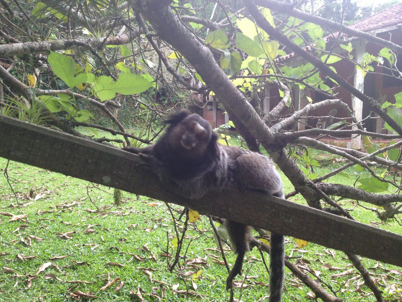 Ilha Anchieta - Macacos